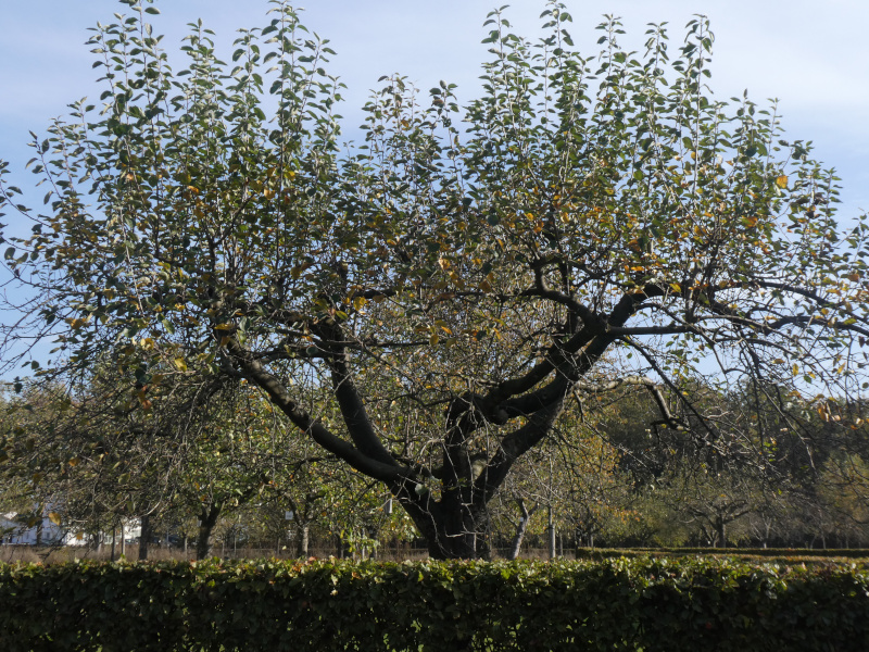 photo of apple tree